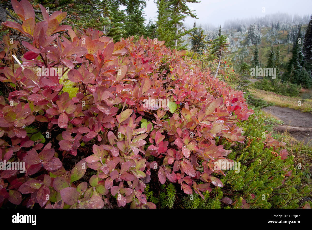 Blueberryes Bushes Turn Red In Early Fall In The Mt Rainyer