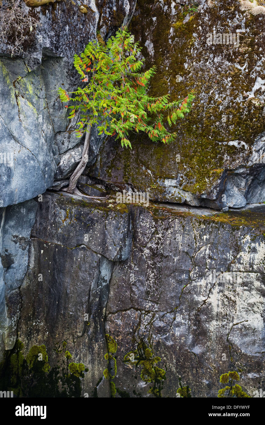Young cedar tree growing in a crack at Nairn Falls Park, British Columbia, canada Stock Photo