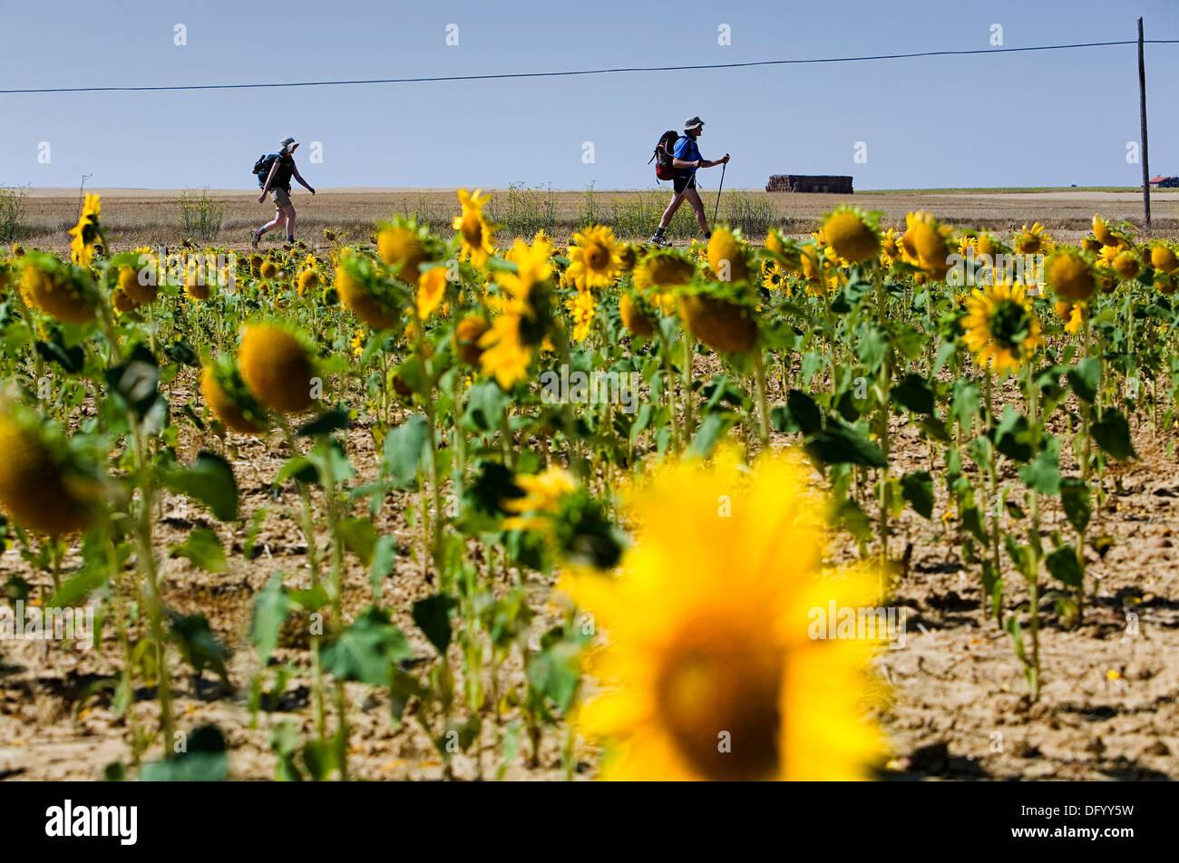 pilgrims near Carrión de los Condes. Palencia province. Spain. Camino de Santiago - Stock Image