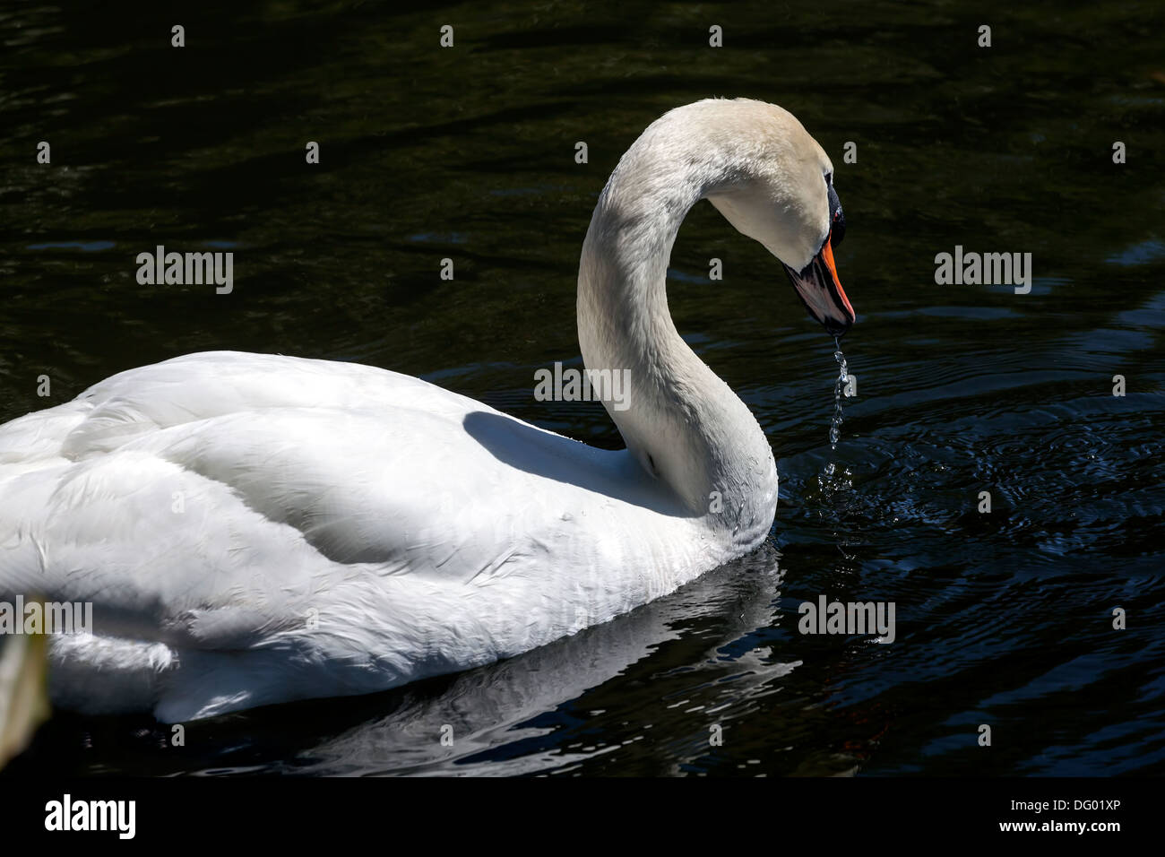 White Swan (Cygnus Anatidae) swimming in pond. - Stock Image