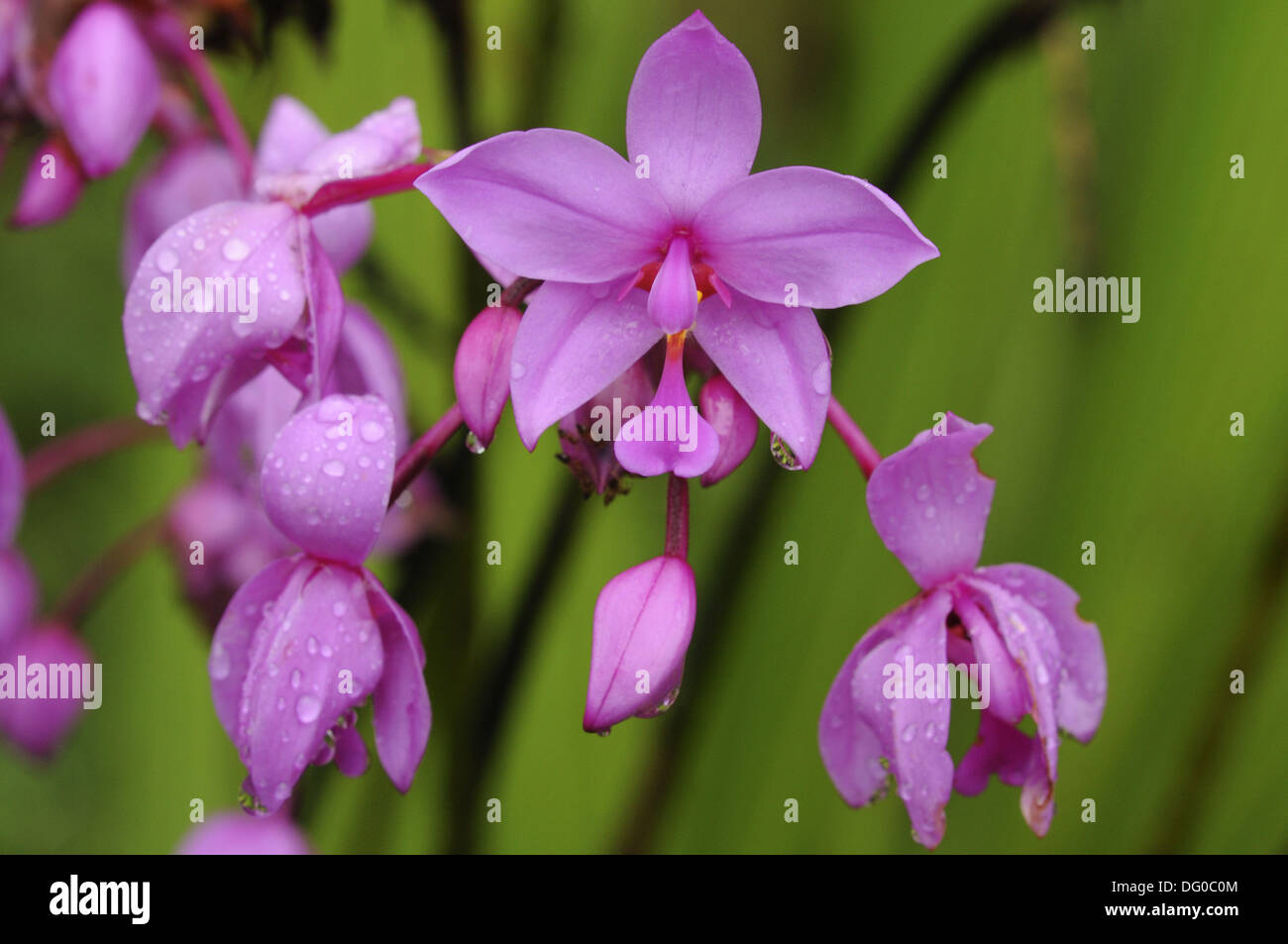 Pink Tropical Flowers Stock Photos Pink Tropical Flowers Stock