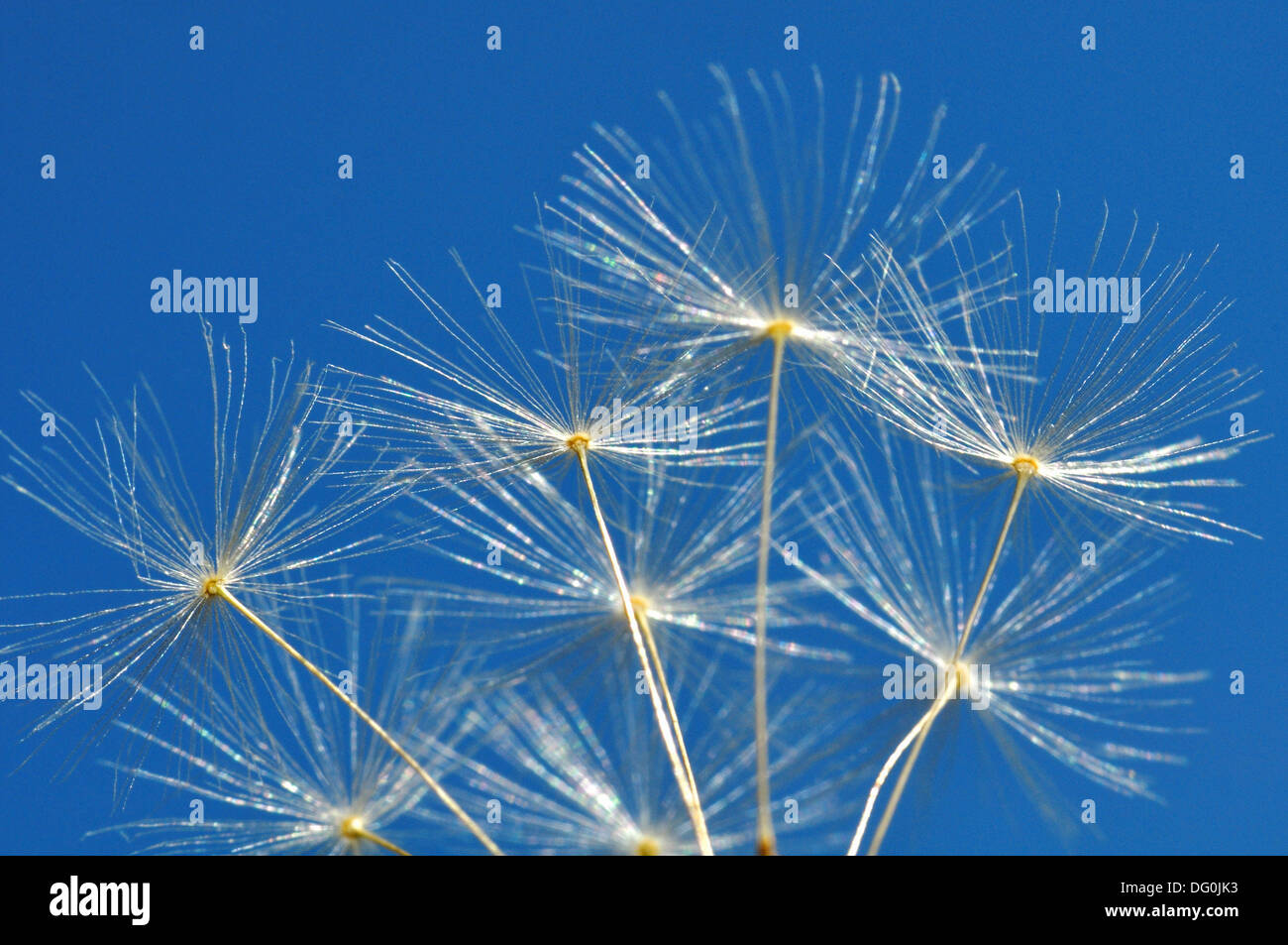 Detailed View of Dandelion Seed With Blue Sky - Stock Image