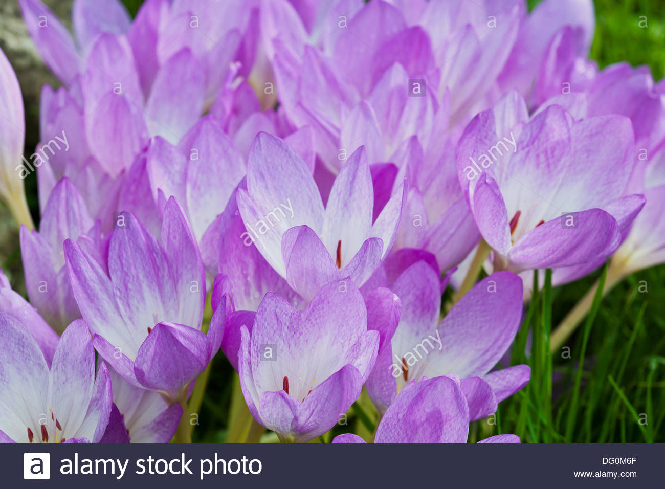 Colchicum autumnale fall autumn crocus flowers white flower colchicum autumnale fall autumn crocus flowers white flower perennial bulb september purple violet lilac white garden plant mightylinksfo