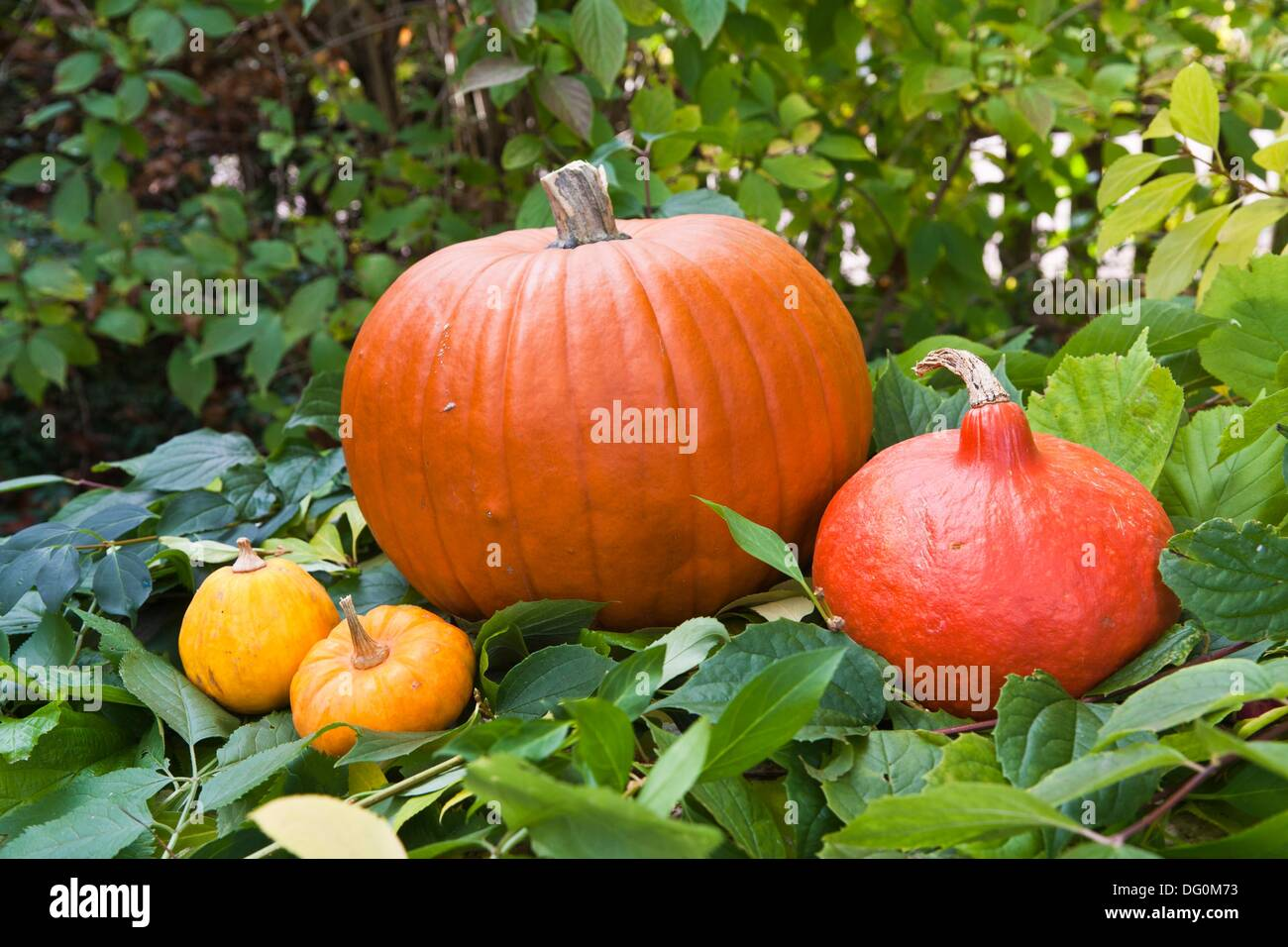 Colorful pumpkins and squash in the garden, Germany, Europe - Stock Image
