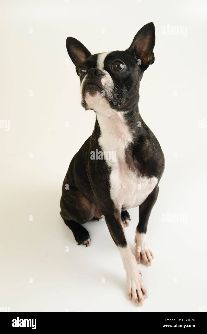 Cute Boston Terrier dog posing on a white background. - Stock Image