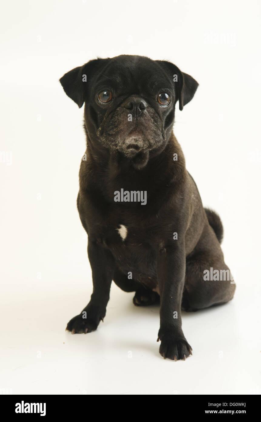 Cute female PUG dog pet, isolated on a white background studio shot. - Stock Image