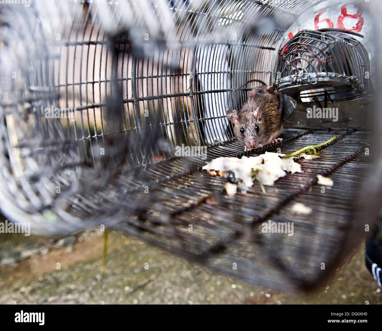 Rat In A Trap Stock Photos & Rat In A Trap Stock Images - Page 3 - Alamy