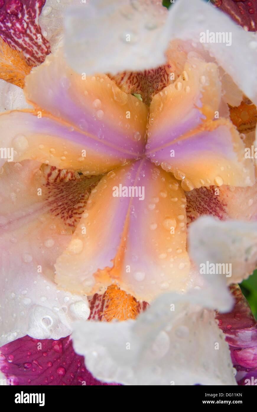 Crimson Snow iris, Schreiners Iris Gardens, Keizer, OR - Stock Image