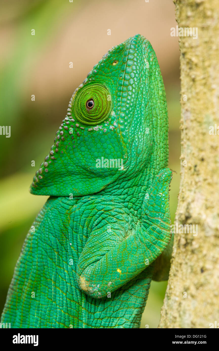 Female Parson's chameleon (Calumma parsonii), Peyrieras Nature Farm, Madagascar - Stock Image