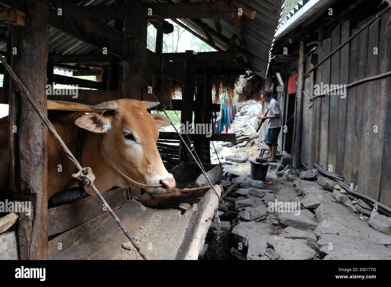 cow in cowshed,hamlet around Sa Phin,Dong Van plateau,Ha Giang province,northern Vietnam,southeast asia - Stock Image