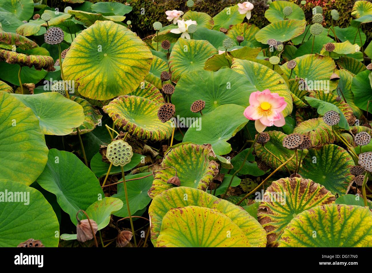 lotus flowers in the moats of the Chateau Beauregard, Pomerol, Gironde department, Aquitaine region, south-western France, - Stock Image