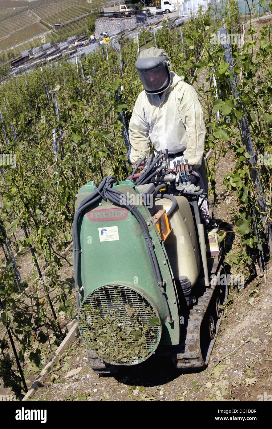 After a heavy Hailstorm: Preventive spray for pest in a vineyard. - Stock Image