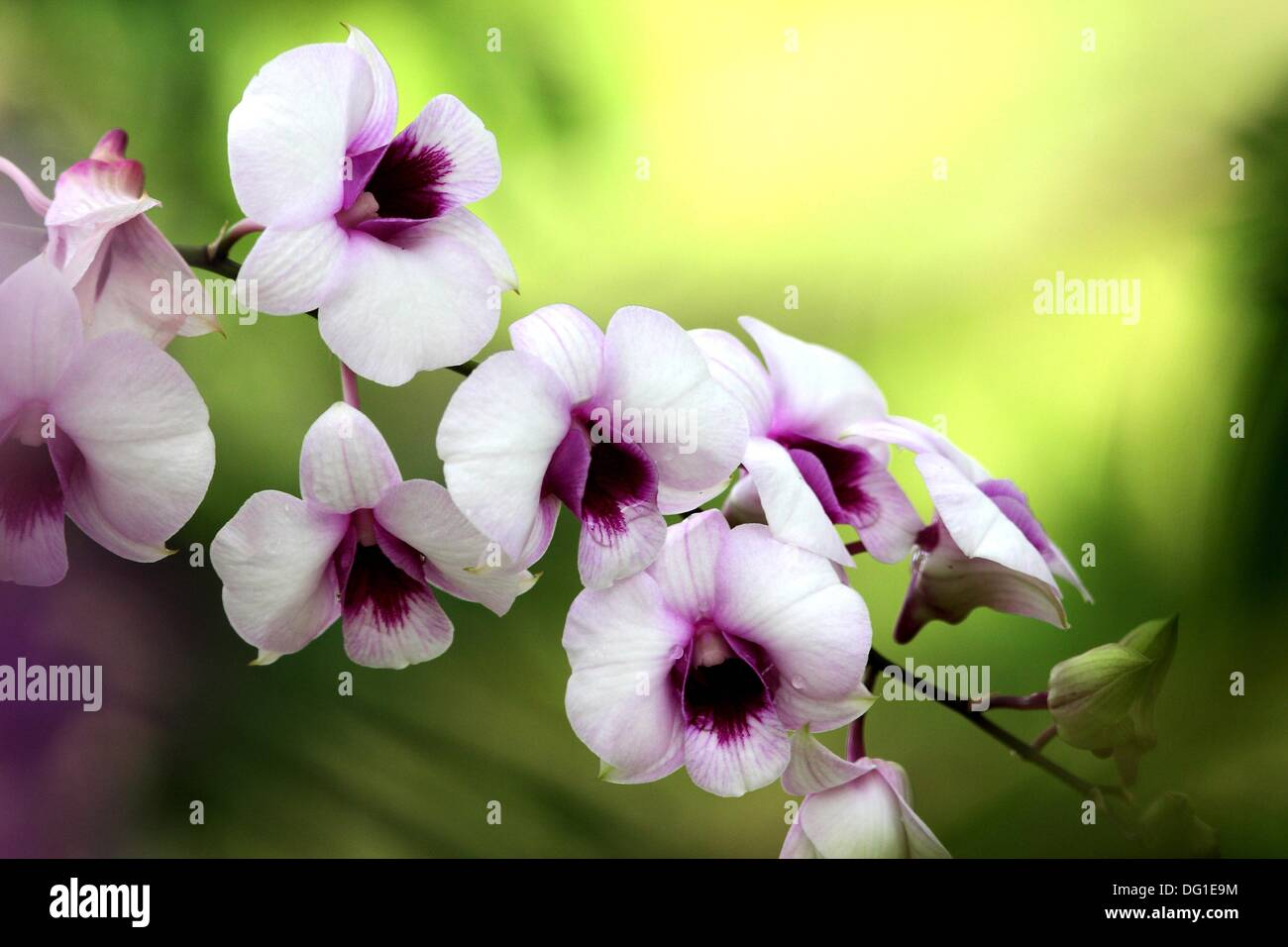 Orchid, Family of Dendrobium - Stock Image