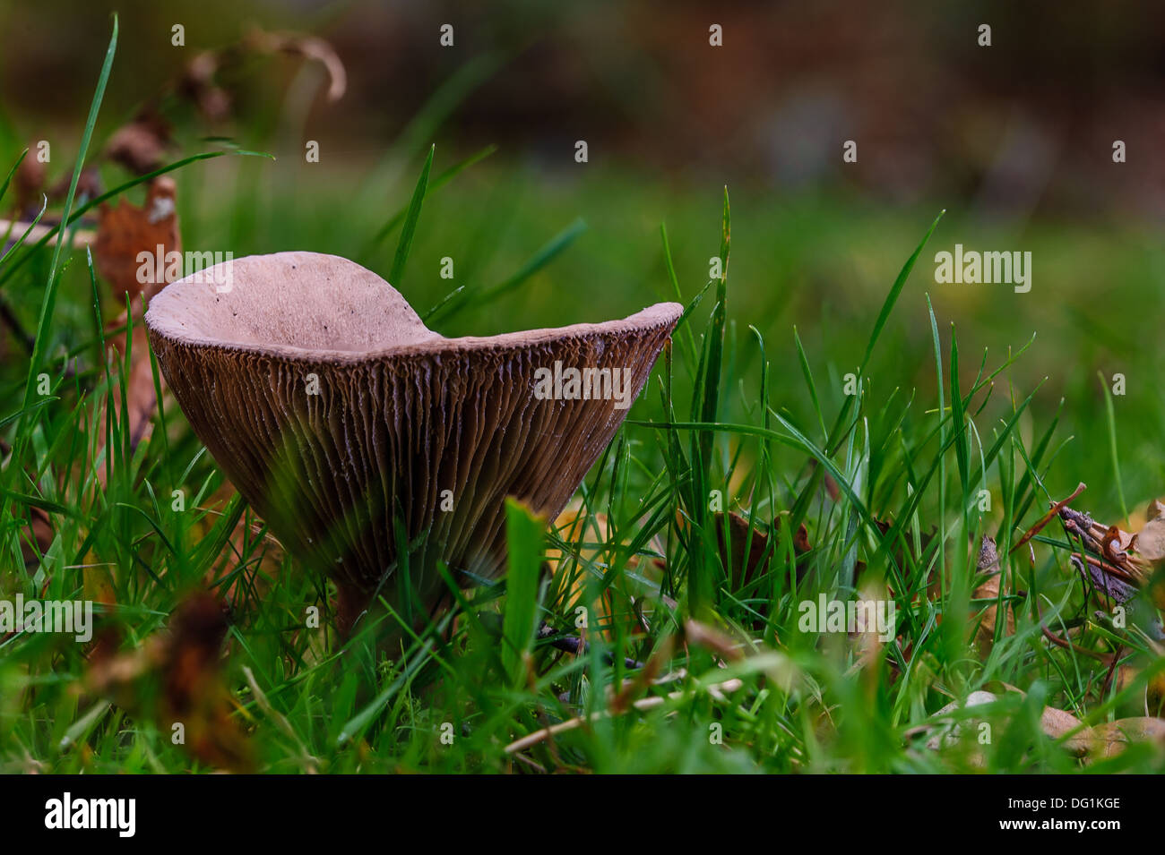Lactarius rufus is a common, medium-sized member of the Lactarius genus, whose many members are commonly known as milkcaps. - Stock Image