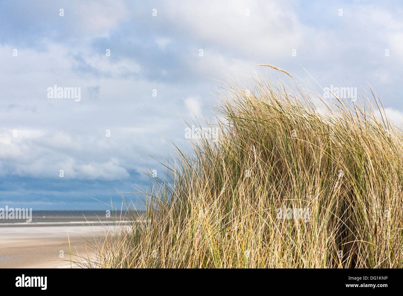 Marram grass on the east frisian island of Spiekeroog, Lower Saxony, Germany, Europe Stock Photo