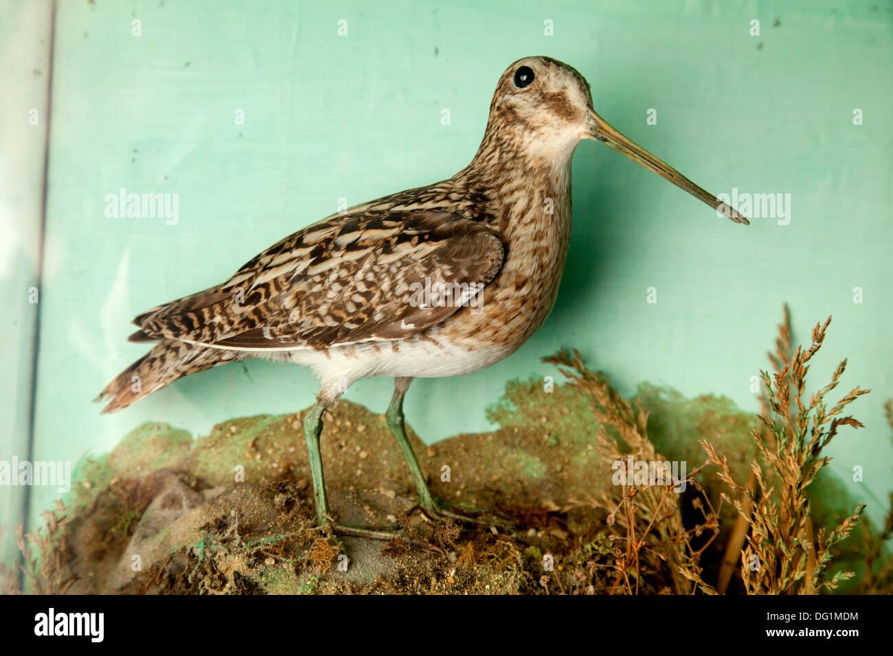 Victorian stuffed Snipe bird in glass display case. - Stock Image