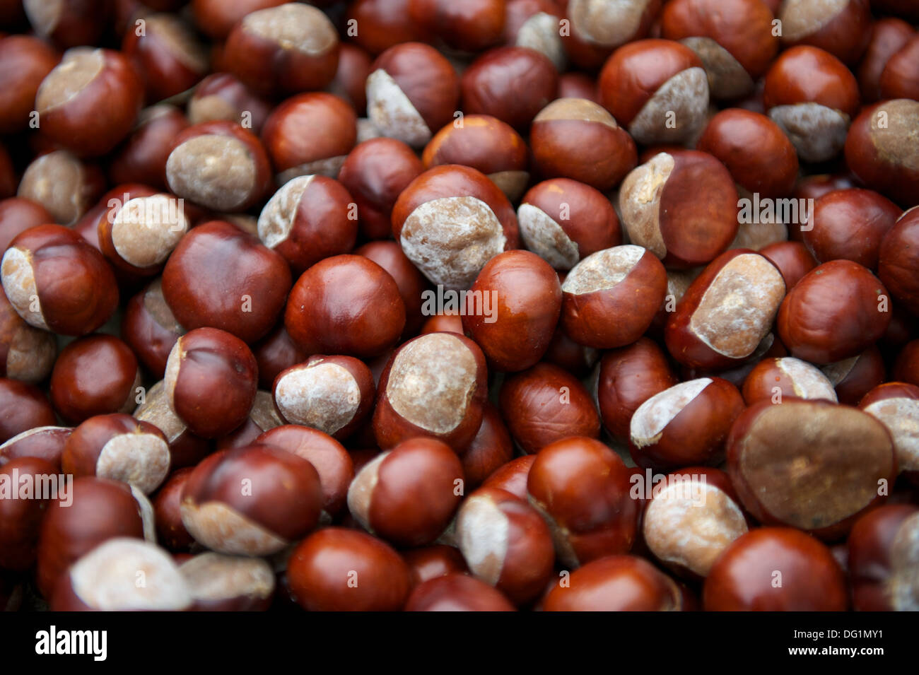 Pile of conkers - abstract background - horse chestnut tree seeds - Stock Image