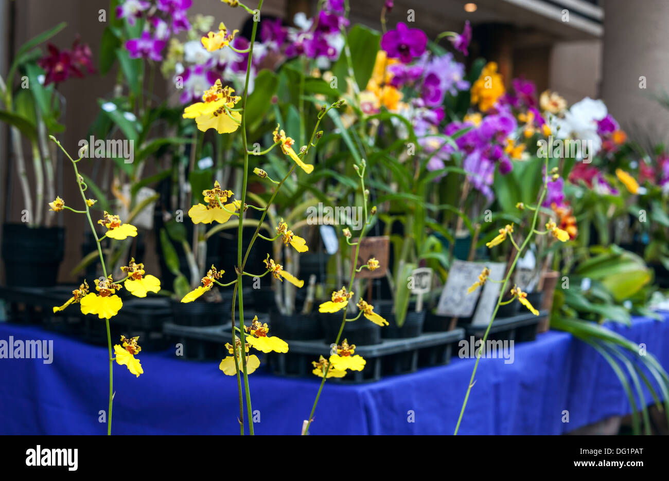 Street market of orchids in Asuncion, Paraguay. - Stock Image