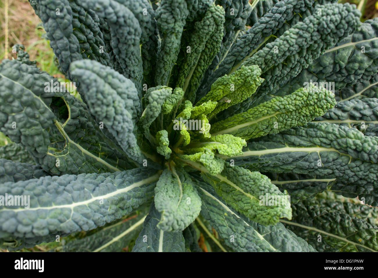 Black kale nutrition