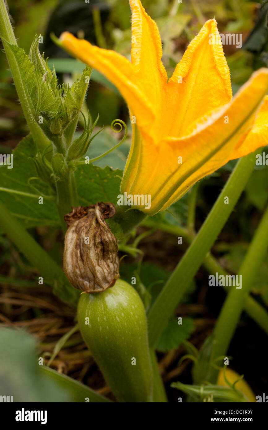 A blossom from a white Lebanese bush squash is open above a young squash with spent blossom still attached. - Stock Image