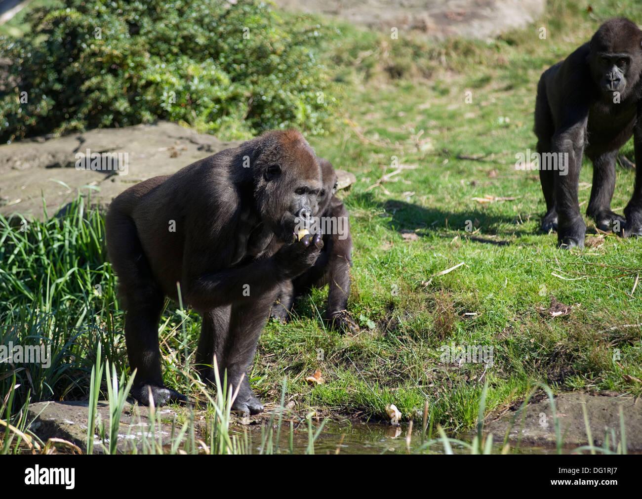 Gorillas at the Apenheul primate park in Apeldoorn, the Netherlands - Stock Image