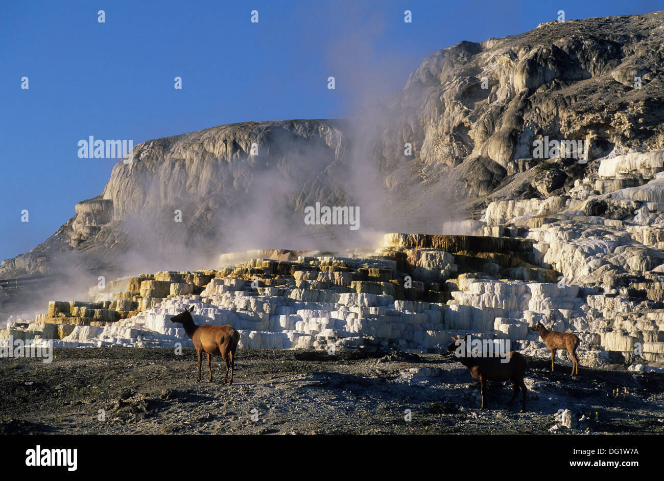 Elk265-1905 Wyoming, Yellowstone National Park, Mammoth Hot Springs, Elk resting on inactive terrace - Stock Image