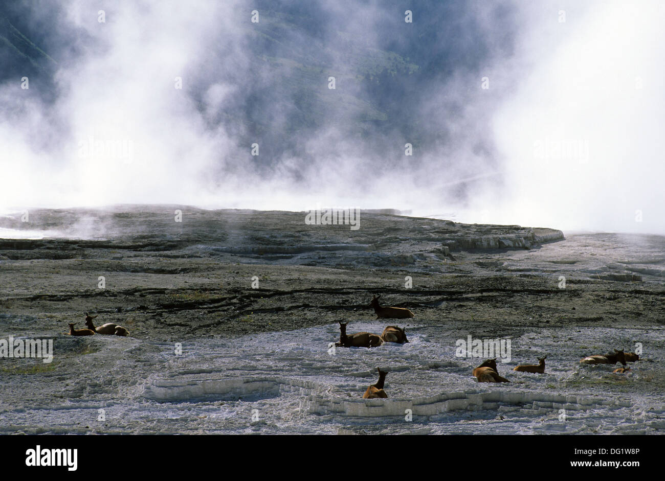 Elk265-1909 Wyoming, Yellowstone National Park, Mammoth Hot Springs, Elk resting on inactive terrace - Stock Image