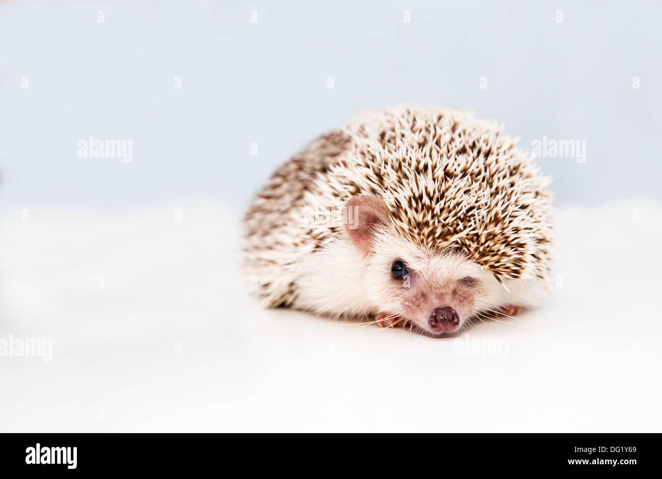 Small hedgehog on white studio background squeezes eye Stock Photo