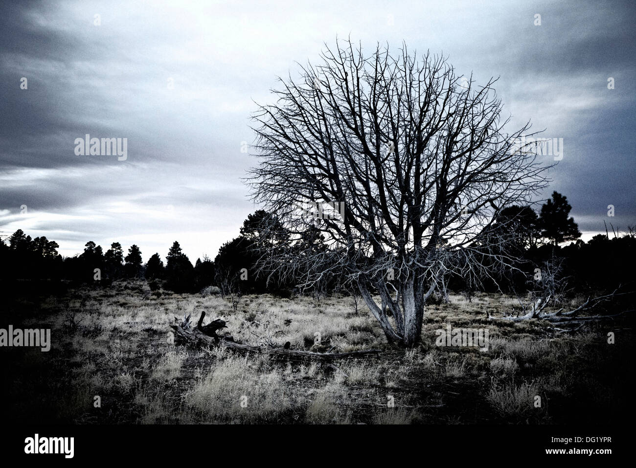 Dead Tree in Desert Field, Arizona, USA - Stock Image