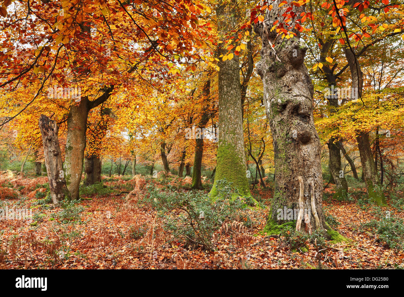 Shave Wood in autumn, New Forest, Hampshire - Stock Image