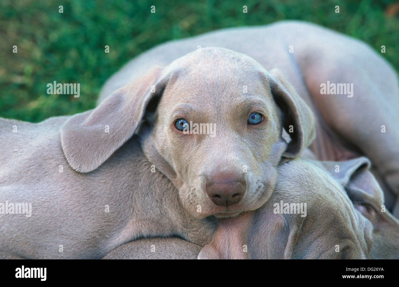 Weimaraner Pups Stock Photos Weimaraner Pups Stock Images Alamy