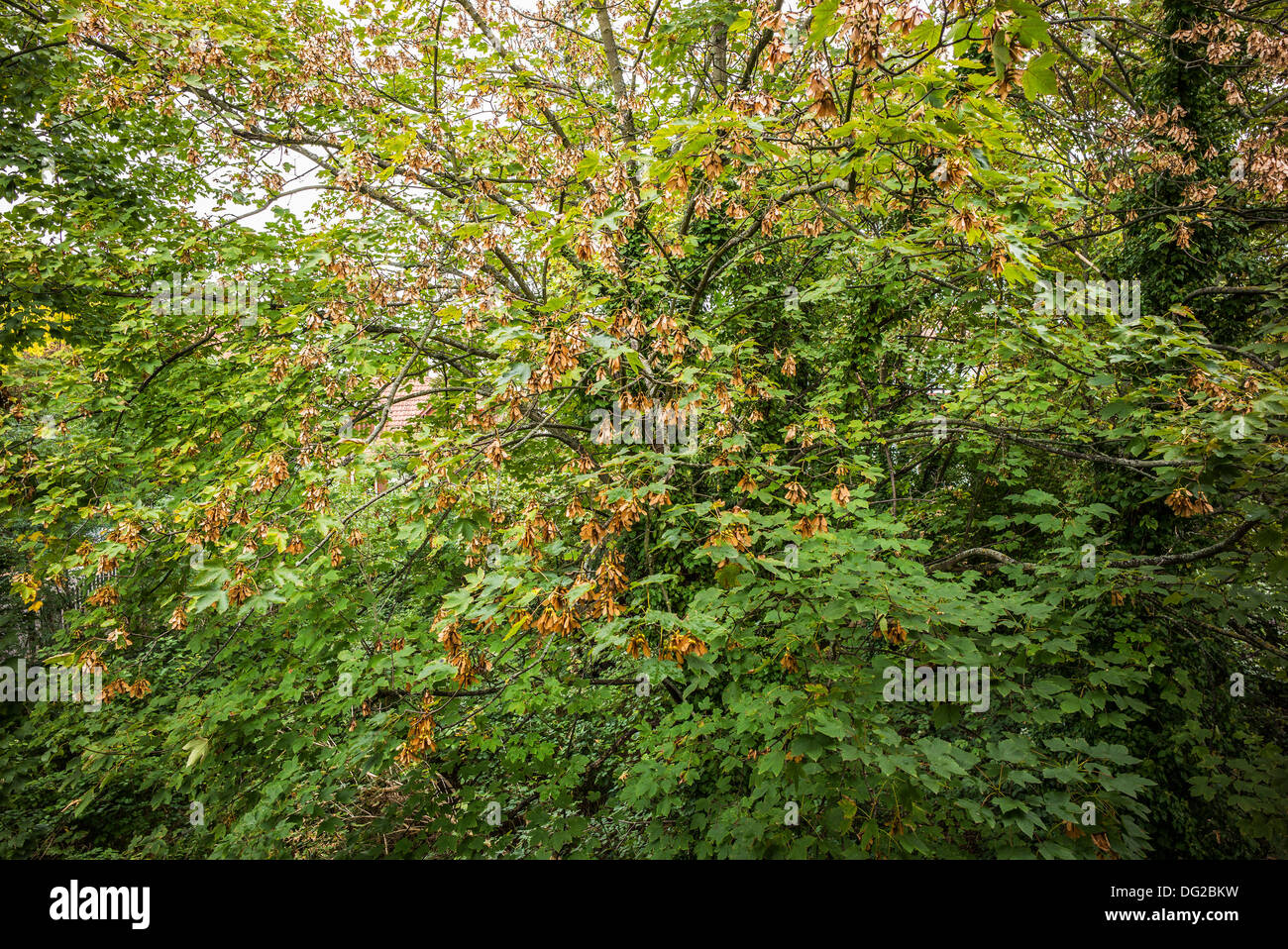 Maple keys on Acer tree Stock Photo
