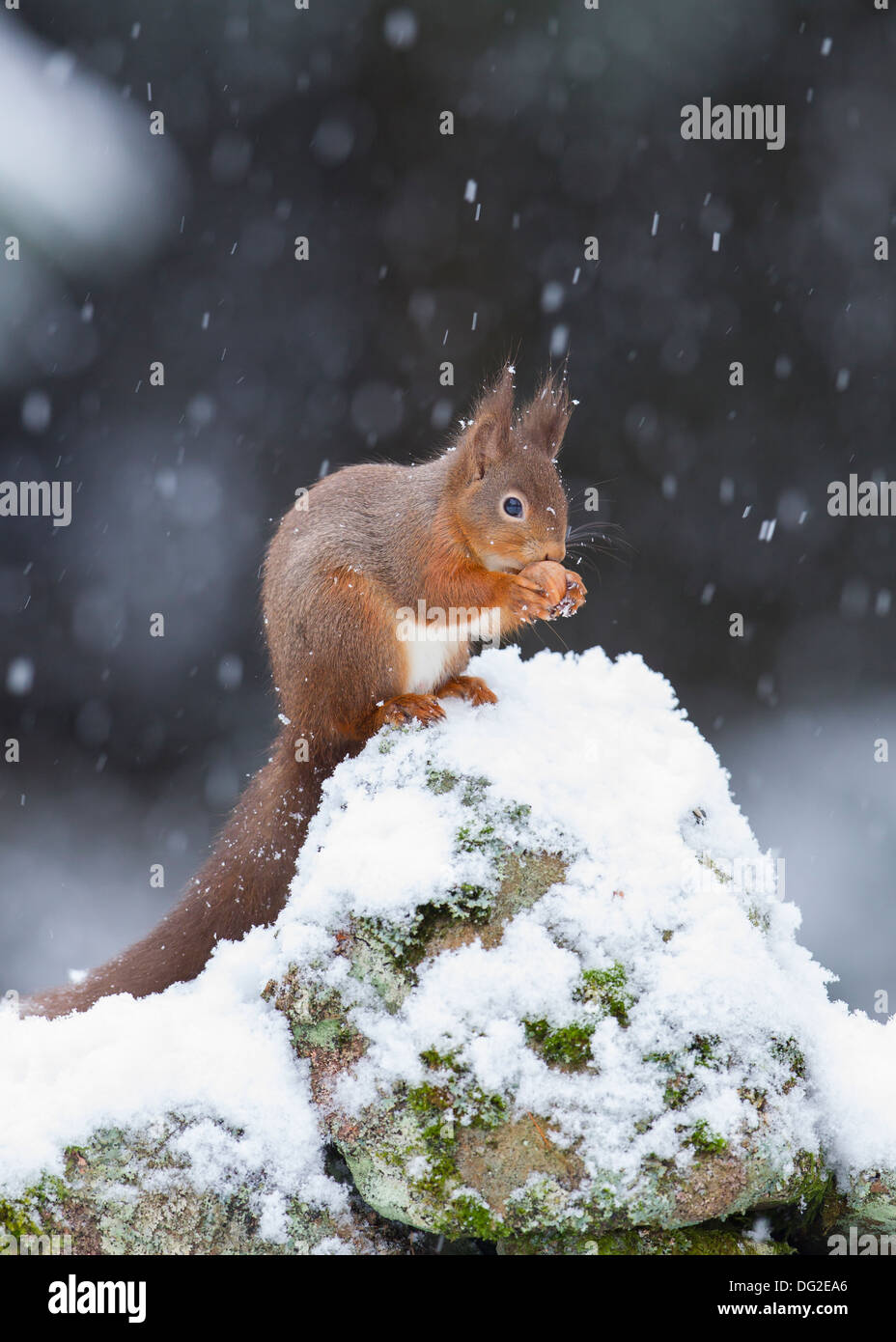 Red Squirrel (Sciurus vulgaris) sat posing in falling snow on dry stone wall in woodland . Yorkshire Dales, North Yorkshire, UK - Stock Image