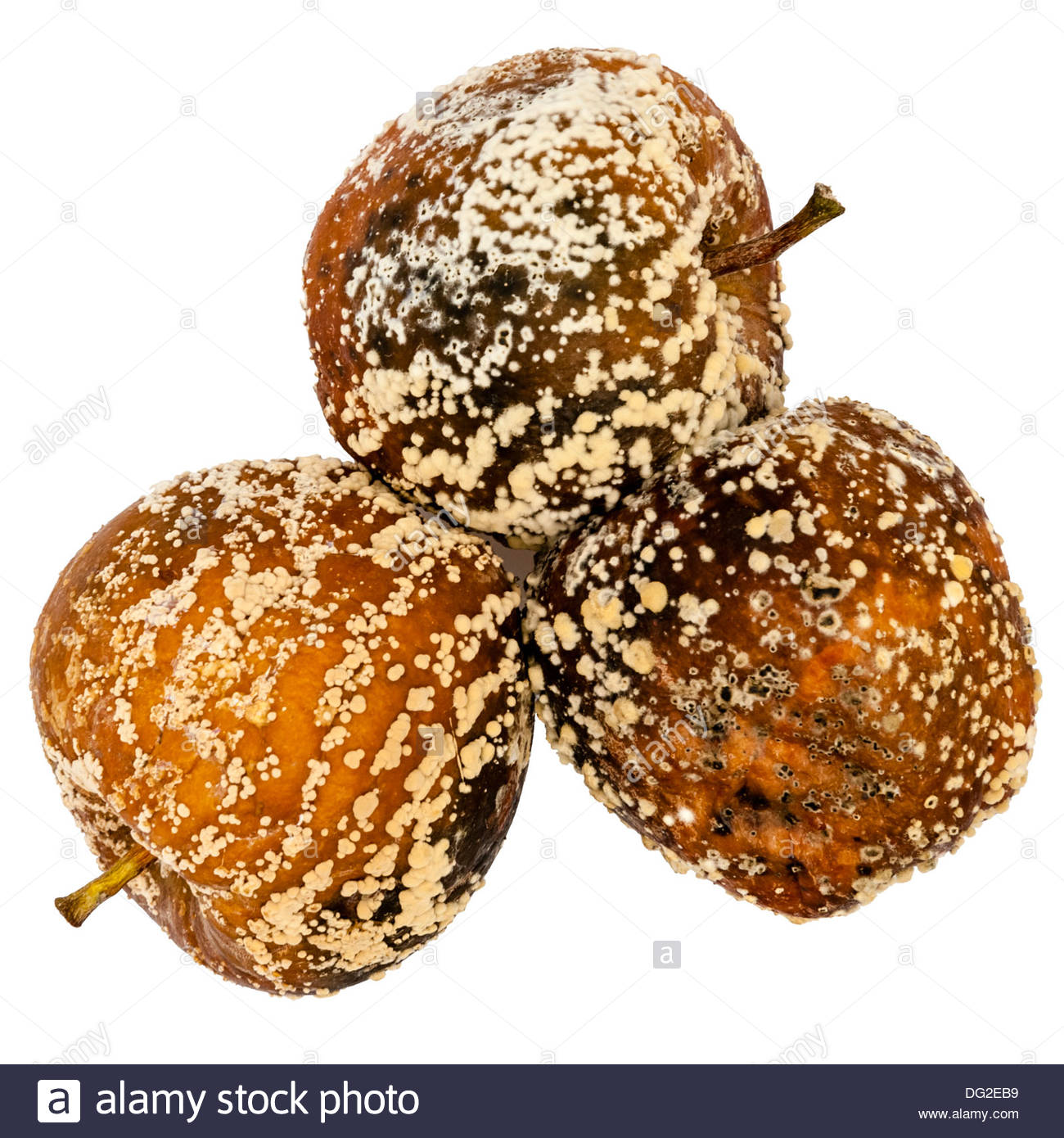 Bad apples covered in mould. Mold growing on spoiled fruit. - Stock Image