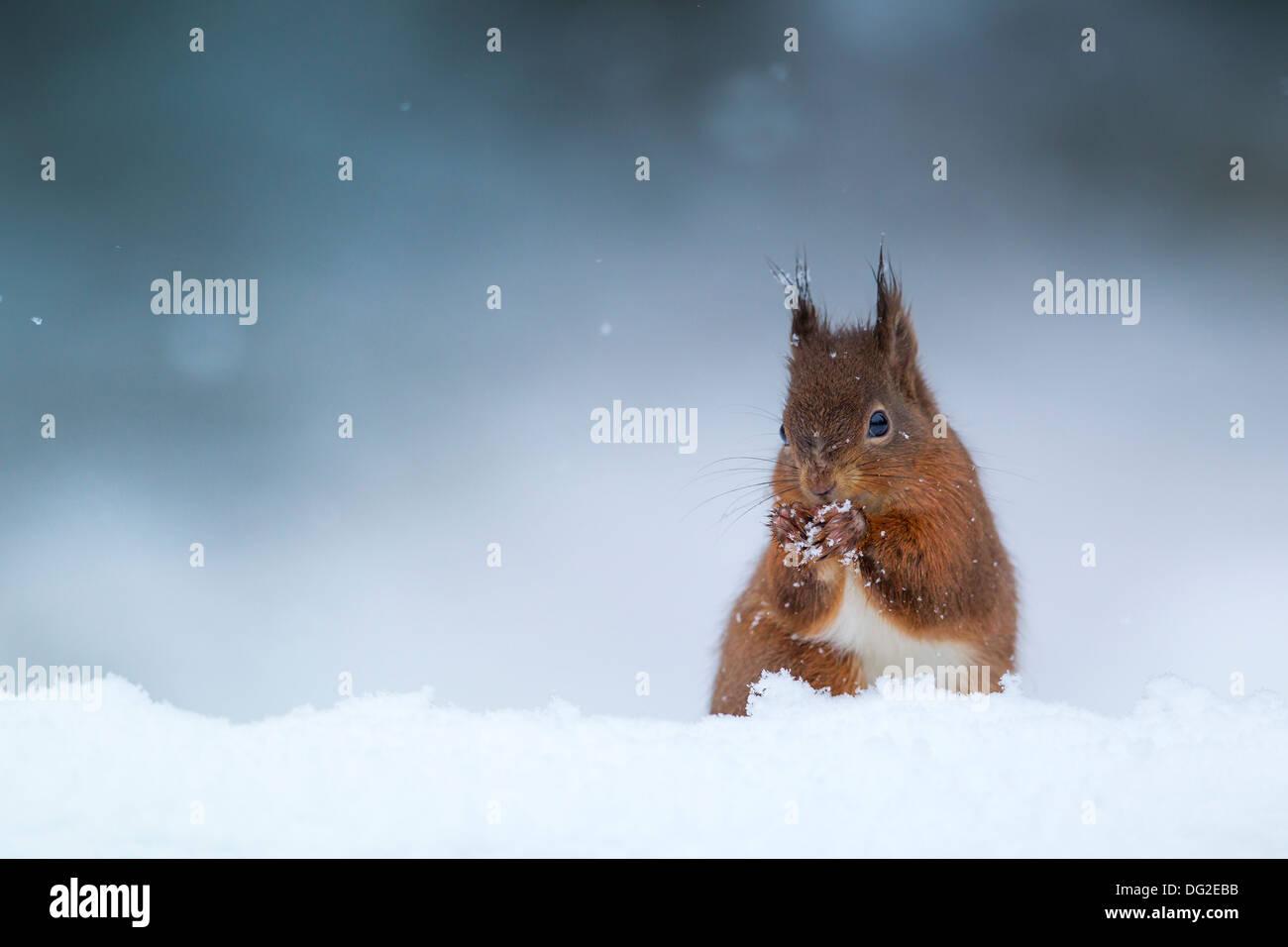 Red Squirrel (Sciurus vulgaris) sat posing in falling snow in woodland setting. Yorkshire Dales, North Yorkshire, UK - Stock Image