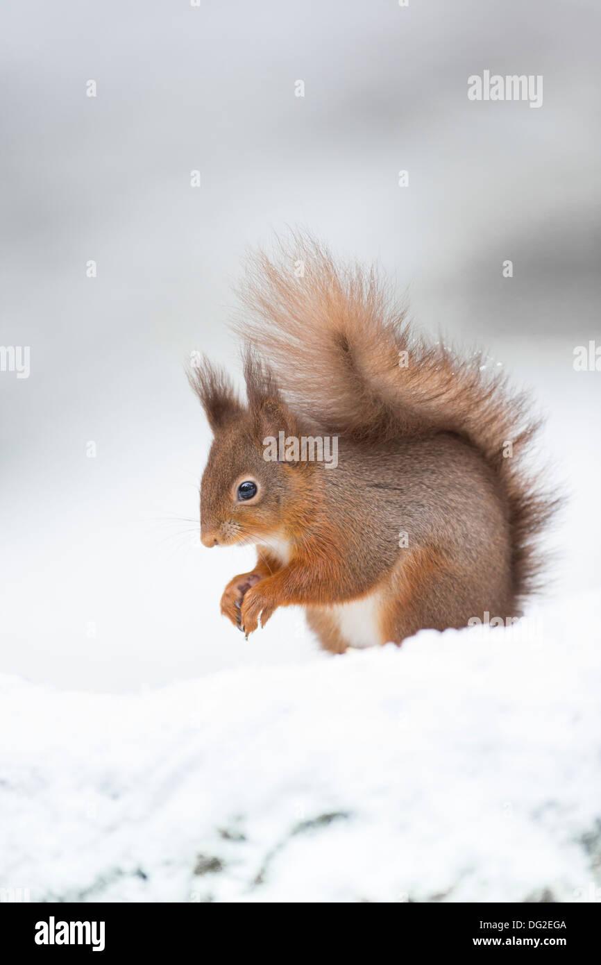 Red Squirrel (Sciurus vulgaris) sat posing in snow in woodland setting. Yorkshire Dales, North Yorkshire, UK - Stock Image