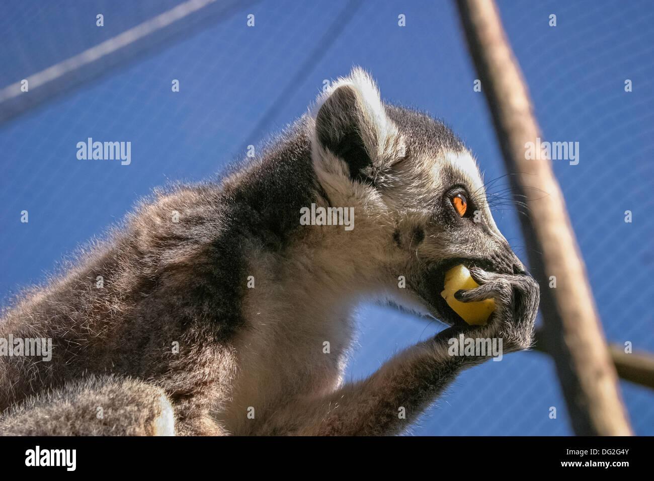 Captive Ring-tailed Lemur (Lemur catta) eating fruit, Marwell Zoo Stock Photo