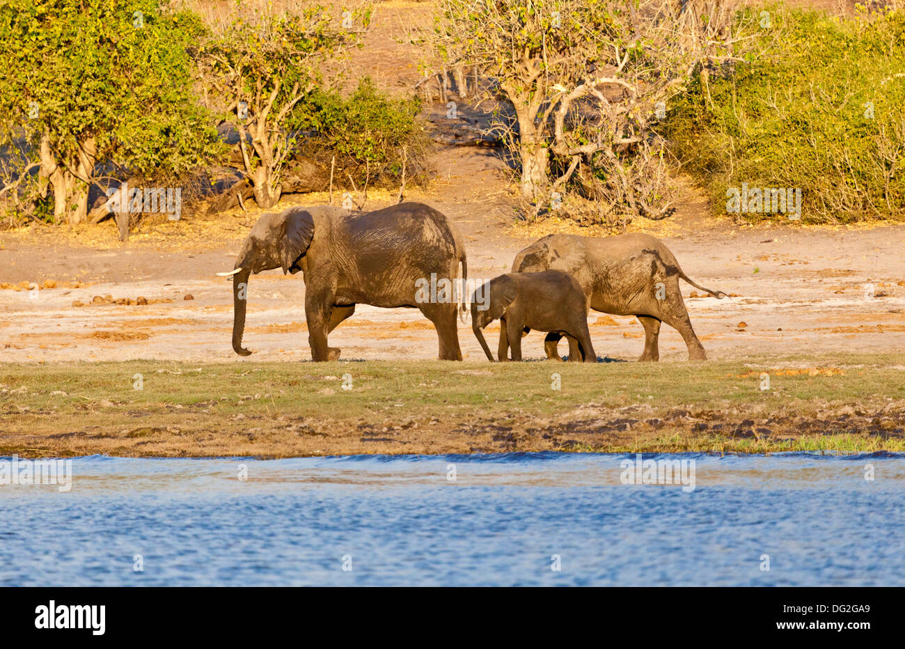A breeding herd of African elephants (Loxodonta africana) by the banks of the River Chobe in Botswana Stock Photo