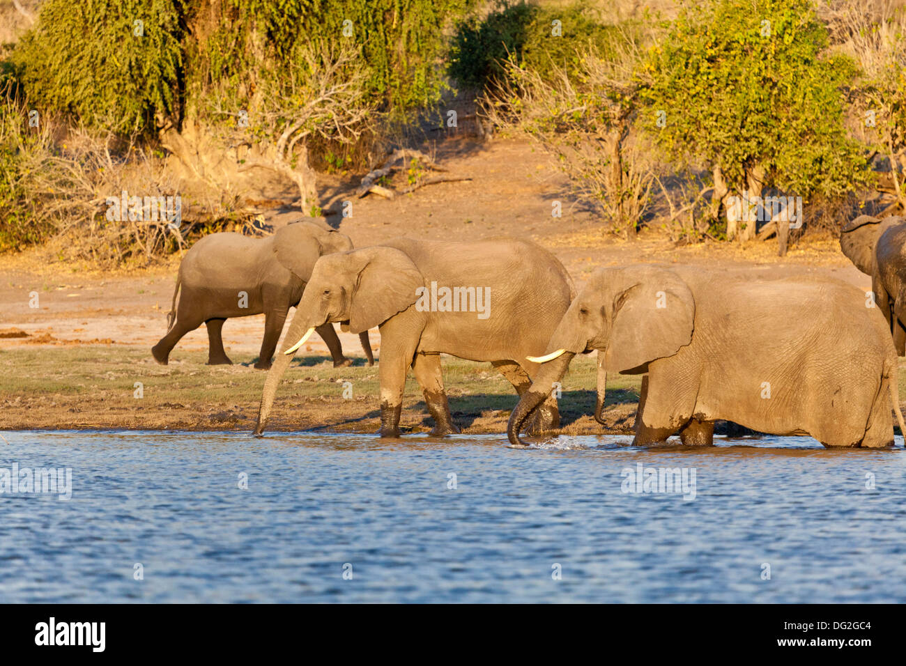 A breeding herd of African elephants (Loxodonta africana) drinking by the banks of the River Chobe in Botswana Stock Photo
