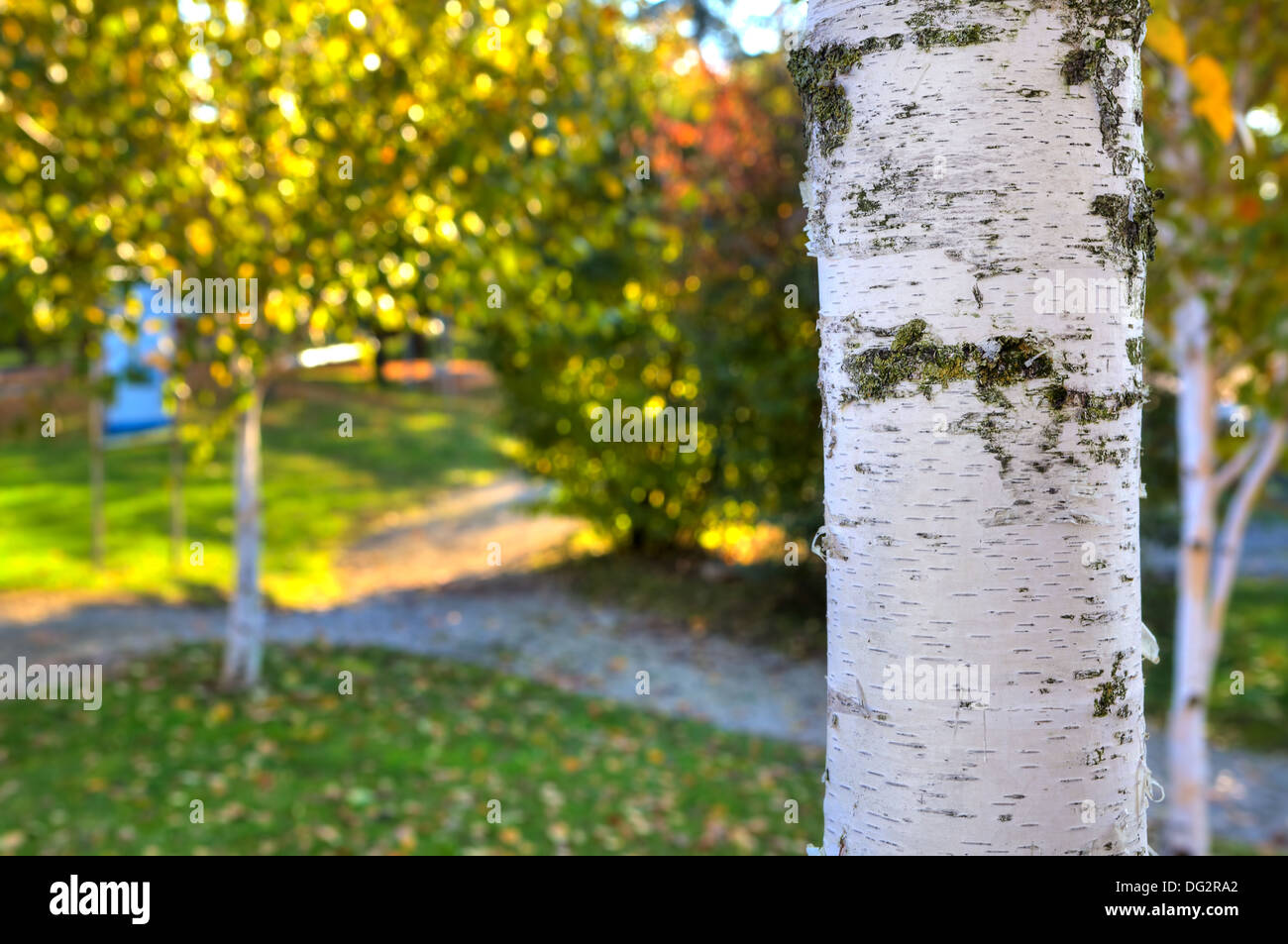 Close-up image of birch with white bark as green grass and trees with colorful yellow leaves blurred on background. - Stock Image