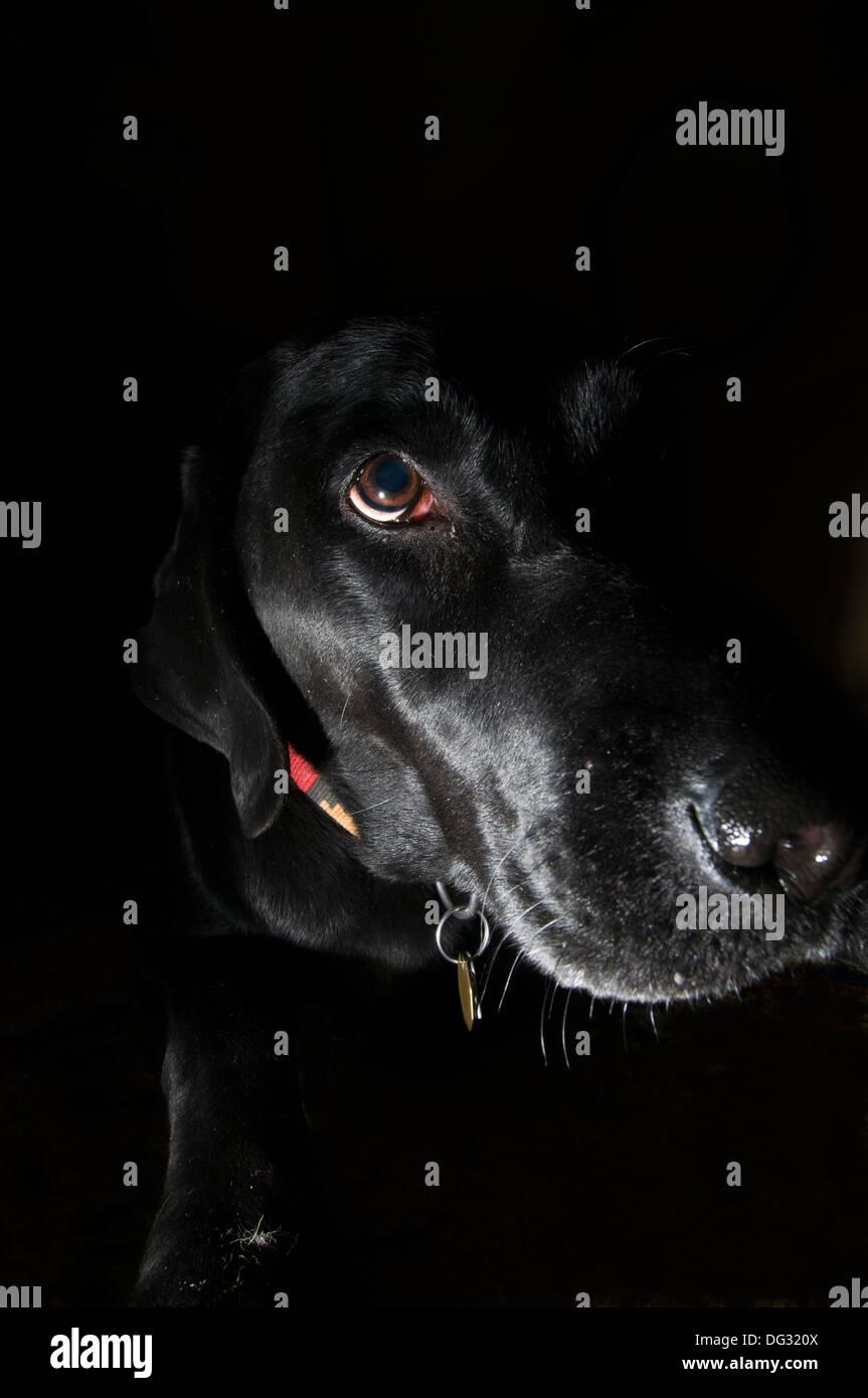 Black Labrador retriever portrait - Stock Image