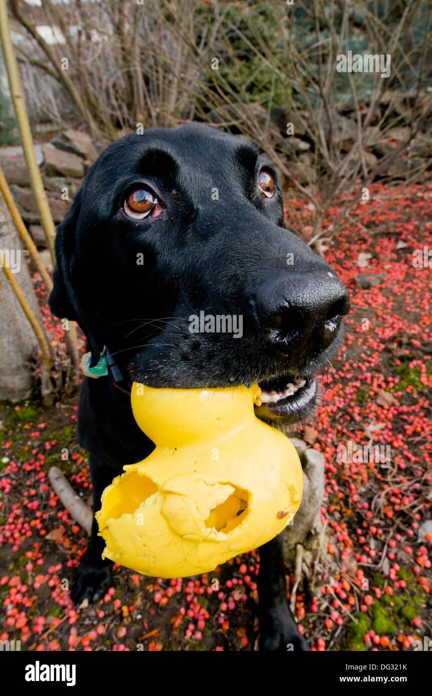 Black Labrador retriever with rubber ducky - Stock Image