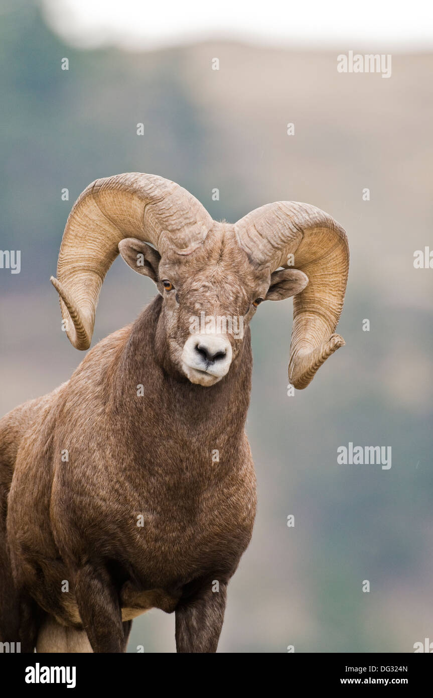 Rocky Mountain bighorn sheep ram (Ovis canadensis canadensis) on Wildhorse Island in Flathead Lake Montana Stock Photo