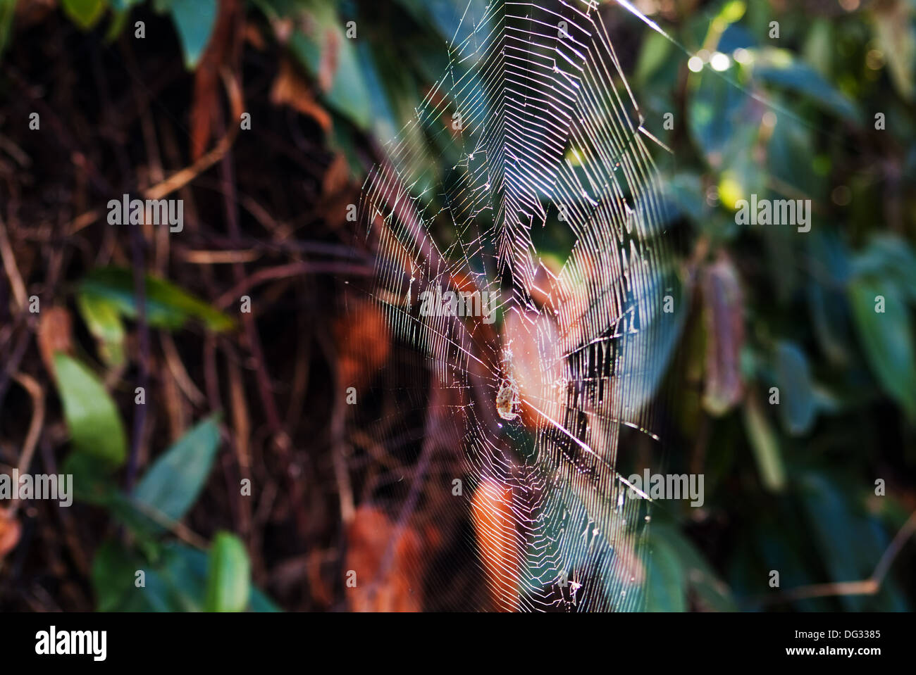 Spider in web back-lit by afternoon sunlight - Stock Image