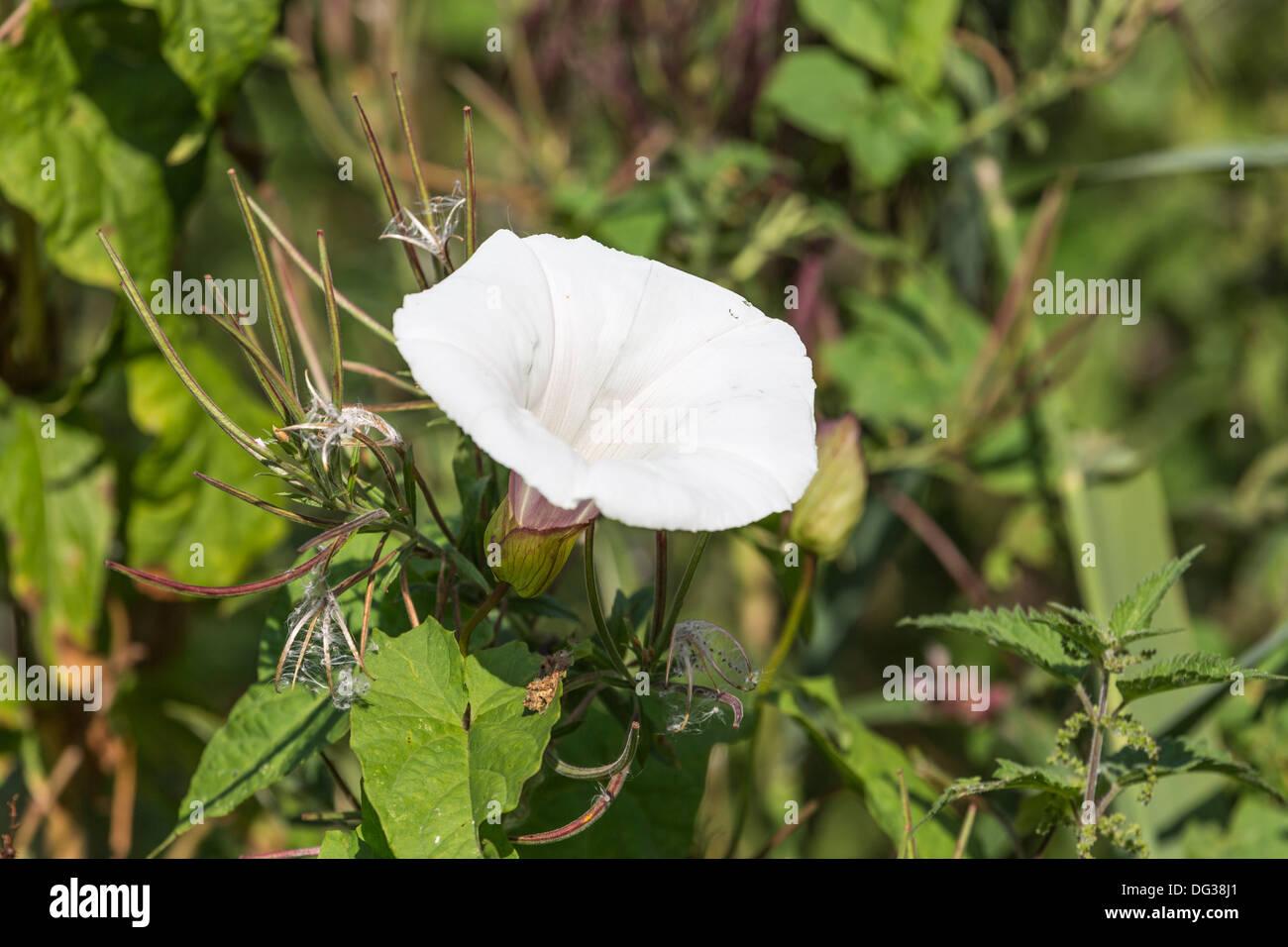 Bindweed convolvulus arvensis a common white flowering weed stock bindweed convolvulus arvensis a common white flowering weed mightylinksfo