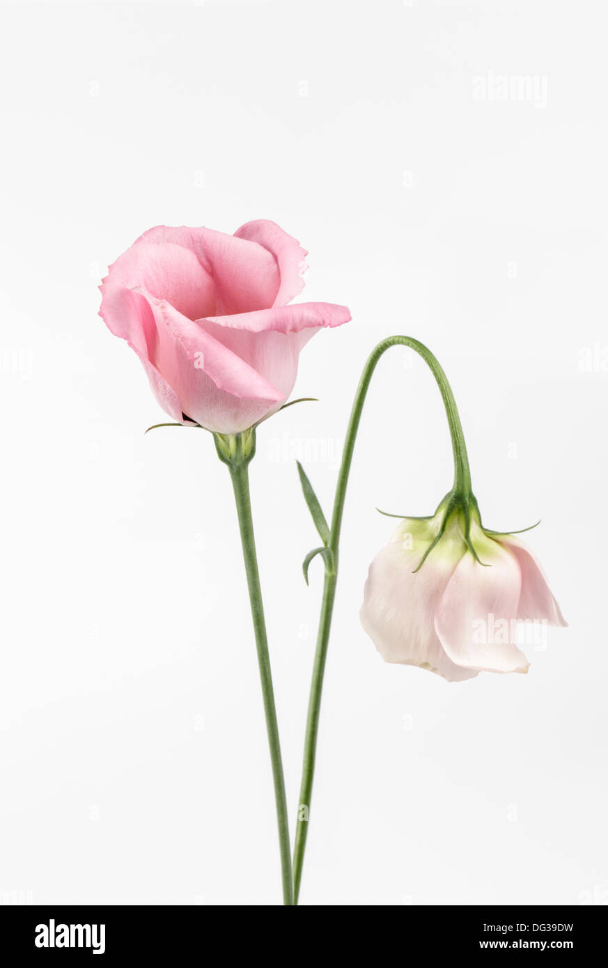 Two pink Eustoma, Lisianthus - Stock Image