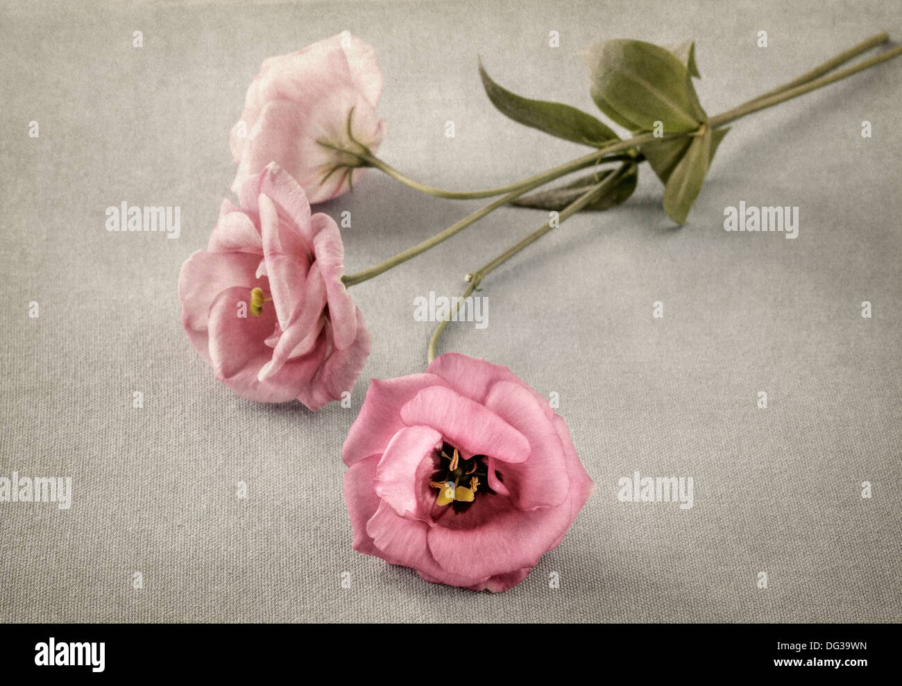 Three pink flowers with texture overlay - Stock Image