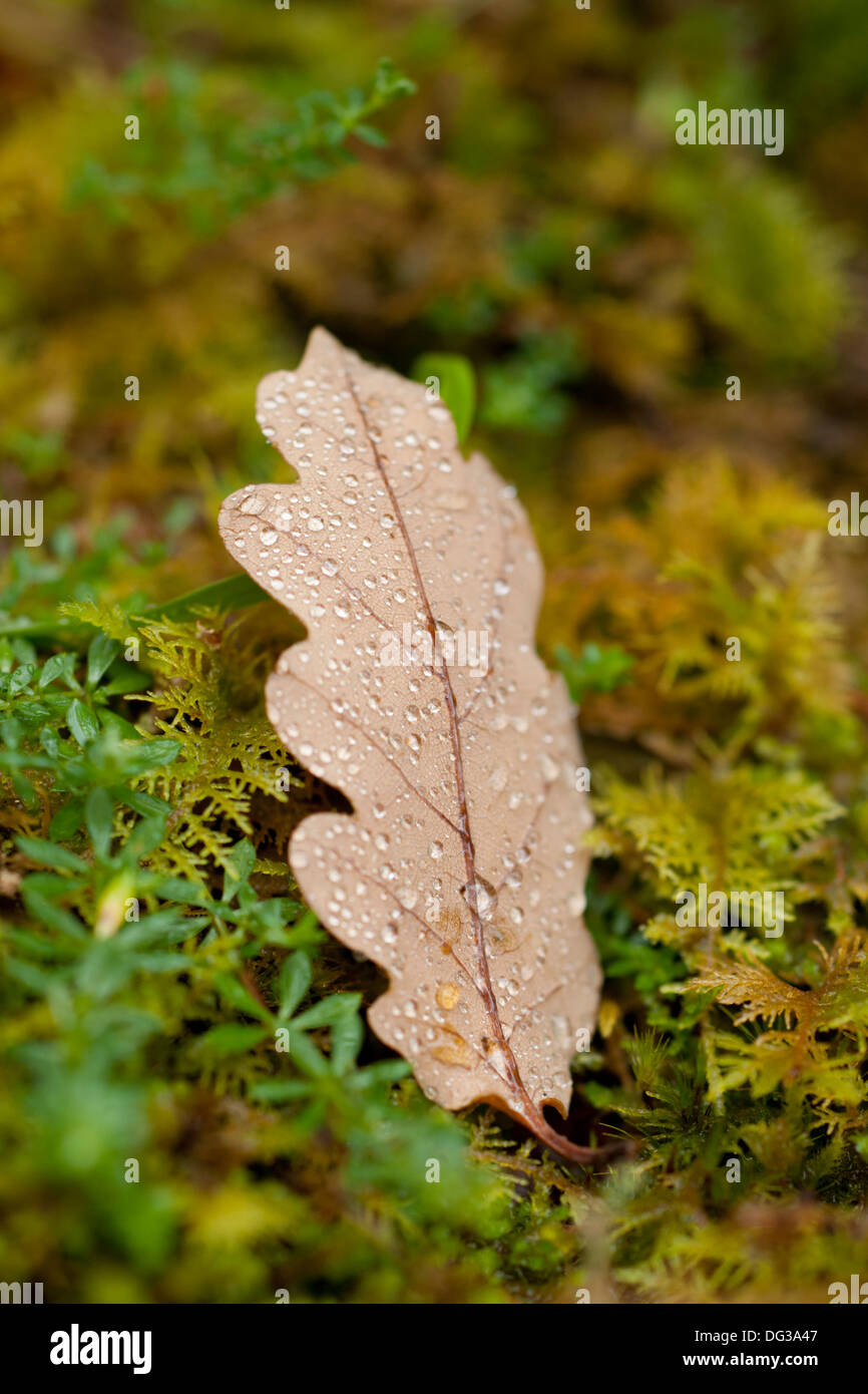 A damp Autumnal leaf lies within a mossy surround, Wester Ross, Scotland - Stock Image
