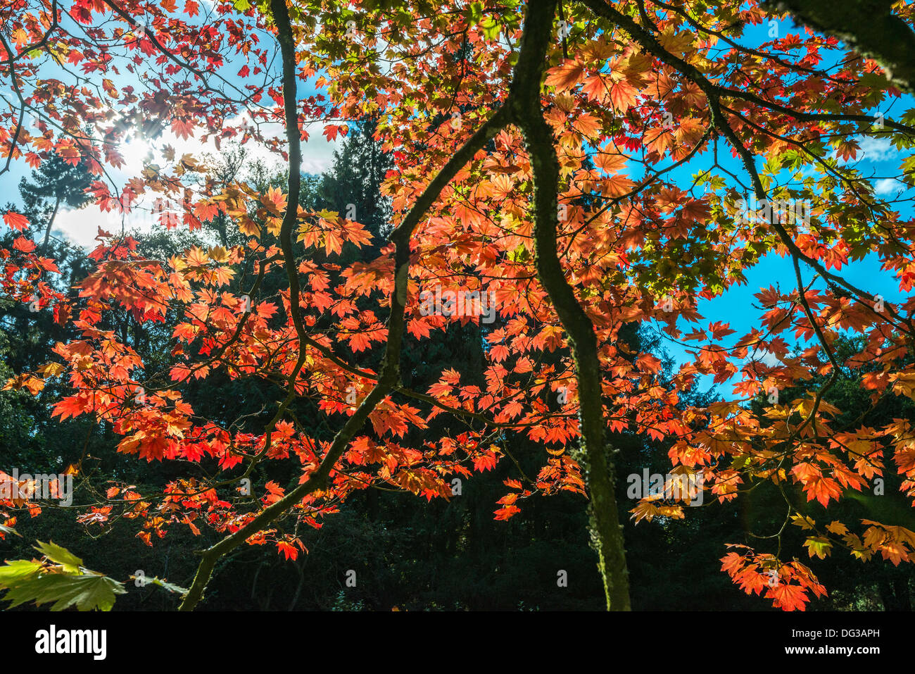 Acer tree in autumn colours in National Arboretum, Westonbirt nr Tetbury Glos. Engalnd UK. managed by the Forestry Commission. - Stock Image