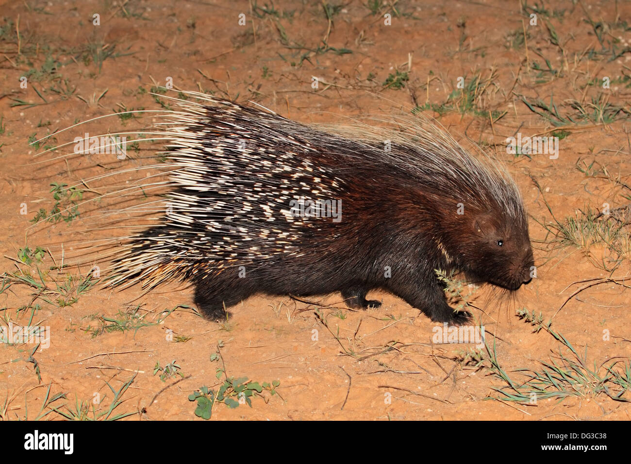 Cape porcupine (Hystrix africaeaustralis), South Africa Stock Photo